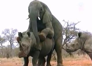 African elephant fucks a very big rhino