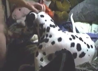 Dalmatian is licking my hard sausage