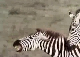 Nice zebras have good sex in desert